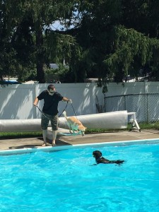 Trained dog max jumps right into his pool
